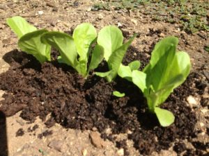 Using Worm Compost on Baby Lettuce